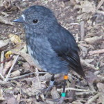 The New Zealand Robin doesn't have the Red Breast of his European Cousin