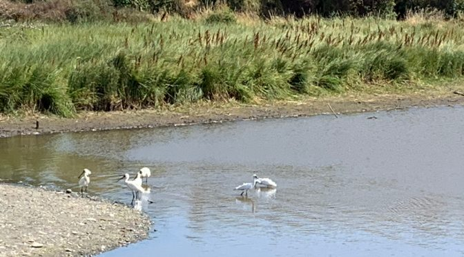 Spoonbills, Plovers & More on Timaru Wetlands…